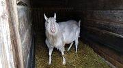 Зааненский безрогий козел