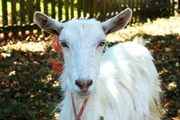 Дойная коза зааненской породы