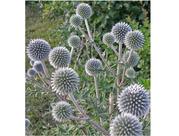 Мордовник шароголовый - медоносное и лекарственное растение.